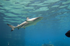 SurfaceShark. Blacktip Reef Shark (Carcharhinus melanopterus) swimming near surface Royalty Free Stock Images