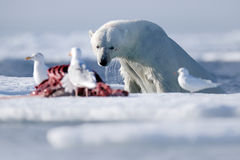 Surfacing dangerous polar bear in the ice with seal carcass Stock Photo