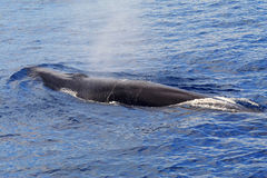 A surfacing Fin Whale ( Balaenoptera physalus) Royalty Free Stock Photography