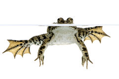 Surfacing Frog. Shot of a frog surfacing in front of a white background Stock Image