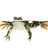Surfacing Frog Stock Photos