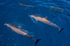 Surfacing and submerged, hawaiin spinner dolphins Stock Image