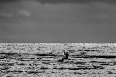 Surfare för drake Boarding Drakesurfarefristil på solnedgången svart white Arkivfoto