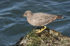 Surfbird Stock Photography