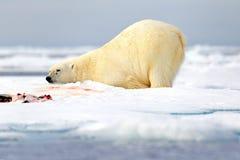 Surfeited心满意足的和疲乏极性在挪威海涉及与雪的流冰边缘和水 白色动物在自然栖所, 库存照片