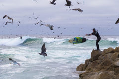 Surfer στους βράχους μεταξύ των πολυάριθμων πουλιών νερού seagulls και πουλιά κορμοράνων που κάθονται στους βράχους, Monterey, Κα Στοκ Εικόνα