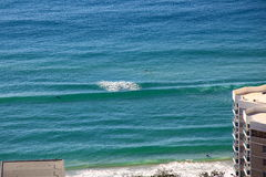Surfer avec l'idylle sauvage de matin de dauphins Images stock