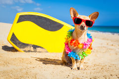 Surfer dog Stock Photography