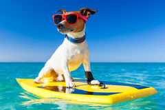 Surfer dog. Dog surfing on a surfboard wearing sunglasses  at the ocean shore Stock Images