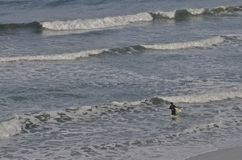 Surfer off for Adventure. A lone unknown surfer heads into the waves for an adventuresome surf experience Royalty Free Stock Photos