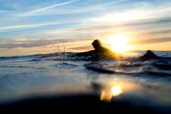 Surfer Paddling Out for One More Wave as Sun Sets. A surfer paddles back out on sunset for a few more waves. The water droplets from his paddle splash provide Royalty Free Stock Images