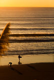 Surfers on beach at sunset Stock Images
