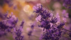 Lavender At Sunset Closeup. Macro shot of lavender flowers swaying in gentle breeze