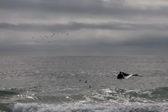 Surfers wait for a wave. Two surfers wait for a wave while birds and seagulls fly overhead on an overcast day Royalty Free Stock Photos