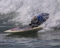 Surfing Bulldog. Bulldog surfing a wave at the beach Royalty Free Stock Image