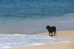 Surfing dog on the beach. A surfing dog on the beach Royalty Free Stock Photo