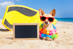 Surfing dog blackboard. Chihuahua dog at the beach with a surfboard wearing sunglasses and flower chain on summer vacation holidays at the beach , with empty stock photography