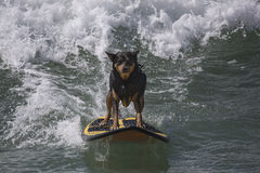 Surfing dog Royalty Free Stock Photo