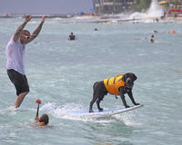 Surfing Dog Royalty Free Stock Images
