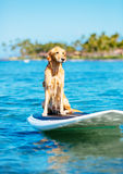 Surfing Dog Stock Images