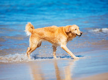 Surfing Dog Stock Photography