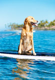 Surfing Dog Royalty Free Stock Photography