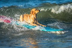 Surfing dog on a surfboad on the sea riding the waves. Dog on a surfboard on the sea riding the waves royalty free stock photos