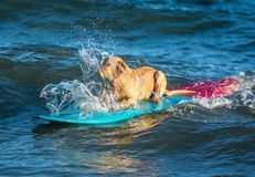 Surfing dog on a surfboad on the sea riding the waves. Dog on a surfboard on the sea riding the waves stock photos