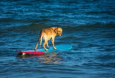Surfing dog on a surfboad on the sea riding the waves. Dog on a surfboard on the sea riding the waves royalty free stock photo