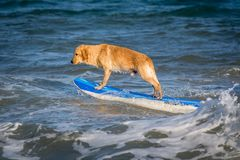 Surfing dog on a surfboad on the sea riding the waves. Dog on a surfboard on the sea riding the waves stock images