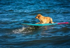 Surfing dog on a surfboad on the sea riding the waves. Dog on a surfboard on the sea riding the waves royalty free stock photography