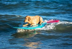 Surfing dog on a surfboad on the sea riding the waves. Dog on a surfboard on the sea riding the waves royalty free stock image