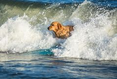 Surfing dog on a surfboad on the sea riding the waves. Dog on a surfboard on the sea riding the waves stock image