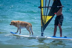 Surfing dog on a surfboad on the sea riding the waves. Dog on a surfboard on the sea riding the waves stock photo