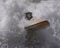 Surfing dog wipeout. Surfing dog about to wipe out Royalty Free Stock Images