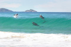 Surfing dolphins Royalty Free Stock Photos
