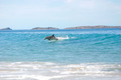 Surfing dolphins Stock Image