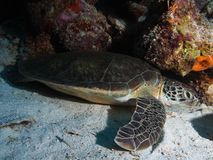 Surfing green turtle Royalty Free Stock Image