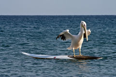 Surfing Pelican Stock Photo