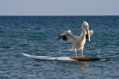 Surfing Pelican stock photo
