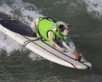 Surfing Pitbull. Pitbull terrier catching a wave on a surfboard Royalty Free Stock Photo
