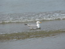 Surfing seagull. A seagull in Wales riding on a wave Stock Image