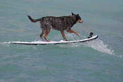 Surfing the waves. A dog surfing the waves at Waikiki, Hawai'i, with its best foot forward Royalty Free Stock Image