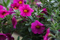 Surfini-Blume im Telefoto Lizenzfreies Stockbild