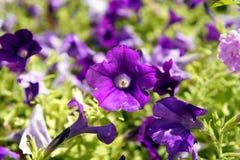Surfinia λουλουδιών Στοκ φωτογραφία με δικαίωμα ελεύθερης χρήσης