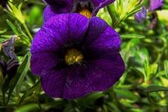 Surfinia (喇叭花)花在庭院里 库存照片