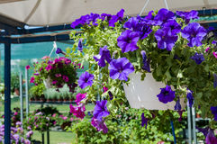 Surfinia. Colorful surfinias in hanging baskets Stock Photography