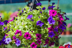 Surfinia. Colorful surfinias in hanging baskets Stock Images