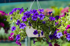 Surfinia. Colorful surfinias in hanging baskets Royalty Free Stock Photography