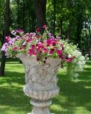 Surfinia en el macizo de flores Fotografía de archivo